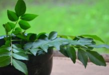 Curry Leaves For Hair Growth in Hindi
