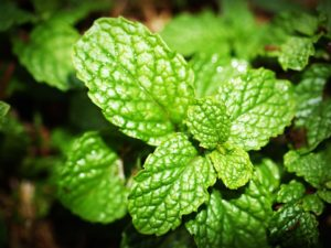 Peppermint Oil Benefits in Hindi